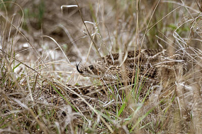 Photograph - Camouflaged Western Diamondback Rattlesnake by Debra Martz