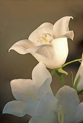 Photograph - Campanula, Bell Flower by Gordon Ripley