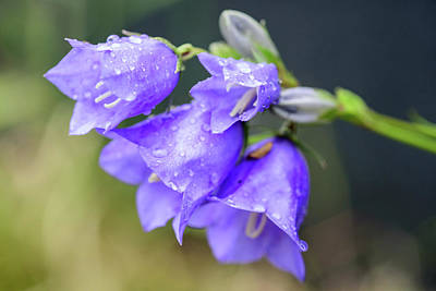 Photograph - Campanula Bellflowers by Keith Boone