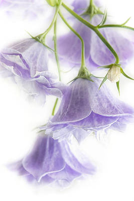 Bellflower Photograph - Campanula Bells by Ann Garrett