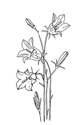 Painting - Campanula Flowers by Masha Batkova