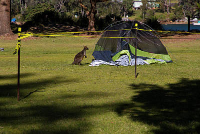 Photograph - Camping With Swamp Wallaby by Miroslava Jurcik