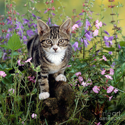 Photograph - Campion Cat by Warren Photographic