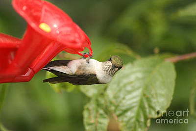 Photograph - Can I Help You Hummingbird  by Cathy Beharriell