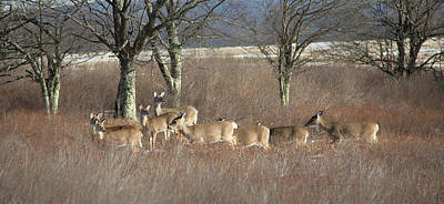 Photograph - Canaan Valley Deer by Jack Nevitt