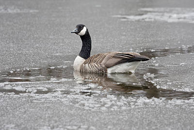 Canada Goose In An Icy Pond. Art Print by Steven Ralser