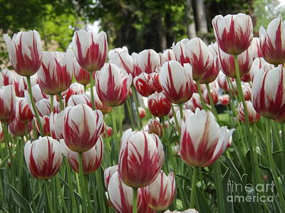 Photograph - Canada 150 Tulip At Park by Lingfai Leung