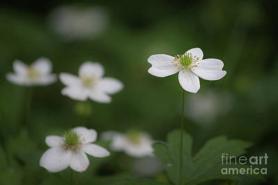 Photograph - Canada Anemone by Gene Healy