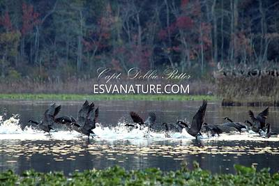 Photograph - Canada Geese 0605 by Captain Debbie Ritter