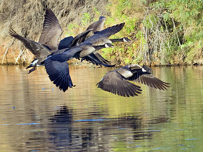 Photograph - Canada Geese 100317-6524-2cr by Tam Ryan