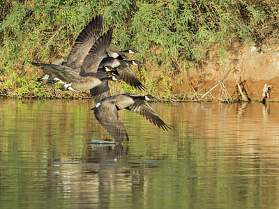 Photograph - Canada Geese 100317-6526-2 by Tam Ryan