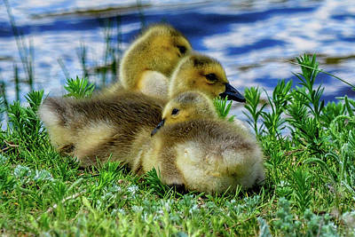 Photograph - Canada Geese - 3 Goslings by Marilyn Burton