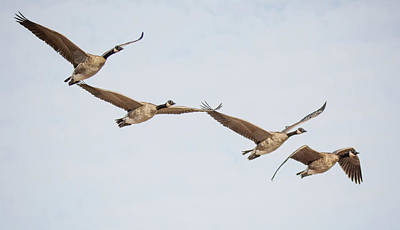 Photograph - Canada Geese 4310-080917-2cr by Tam Ryan