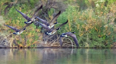 Photograph - Canada Geese 4760-013018-1cr by Tam Ryan