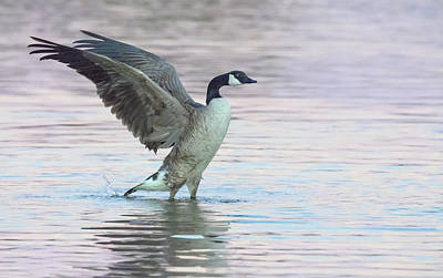 Photograph - Canada Geese 4771-013018-2cr by Tam Ryan