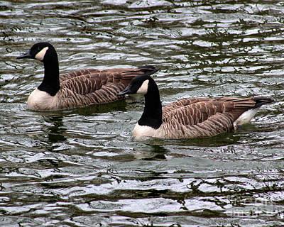 Photograph - Canada Geese 8 X 10 by Karen Adams