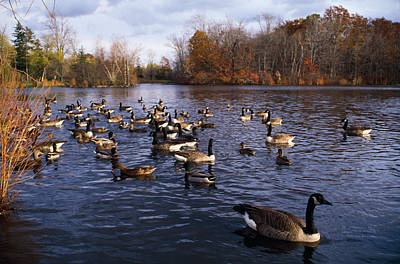Gathering Photograph - Canada Geese Branta Canadensis by Panoramic Images
