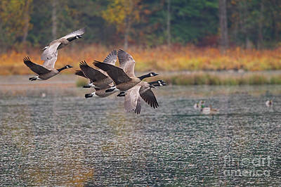 Photograph - Canada Geese Circling The Marsh by Sharon Talson