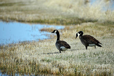 Photograph - Canada Geese by Denise Bruchman