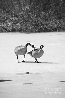 Photograph - Canada Geese by Elaine Mikkelstrup