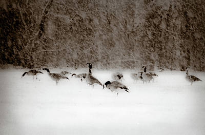 Photograph - Canada Geese Feeding In Winter by  Onyonet  Photo Studios