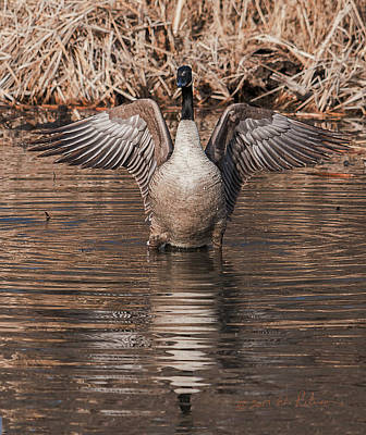 Photograph - Canada Geese Flap by Edward Peterson