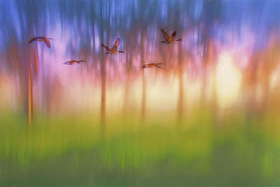 Photograph - Canada Geese - Flight - Sunset by Nikolyn McDonald