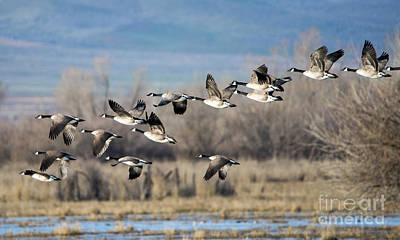 Animals Photos - Canada  Geese Flock by Mike Dawson