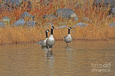 River Photograph - Canada Geese by Gary Wing