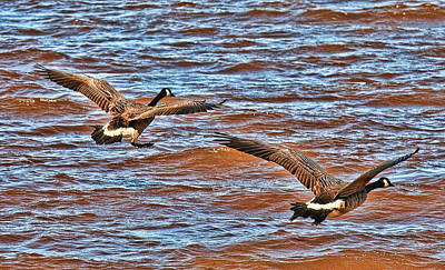 Photograph - Canada Geese Going Home by Lawrence Christopher