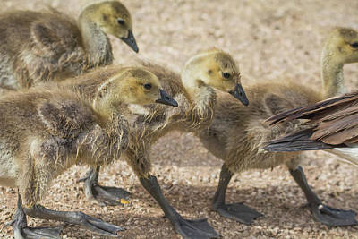Photograph - Canada Geese Goslings 7584-042618-1 by Tam Ryan