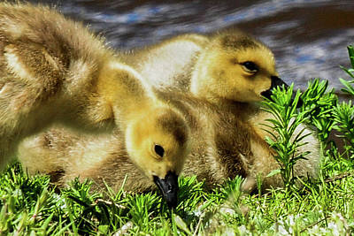Photograph - Canada Geese - Goslings by Marilyn Burton
