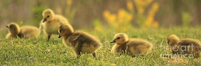 Photograph - Canada Goose Hatchlings by J McCombie