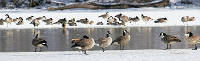 Photograph - Canada Geese Ice Melt by Edward Peterson