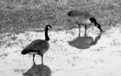 Photograph - Canada Geese In Black And White by Kathy Barney