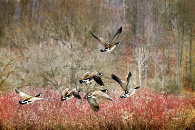 Canada Geese In Flight Art Print