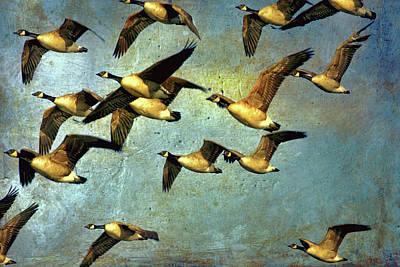 Canadian Geese Painting - Canada Geese In Flight by Peggy Collins