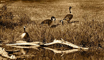 Photograph - Canada Geese Lakeside by Kathleen Stephens