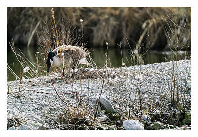 Photograph - Canada Geese Nest Setting by Edward Peterson