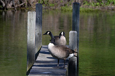 Photograph - Canada Geese On Dock by Kathleen Stephens