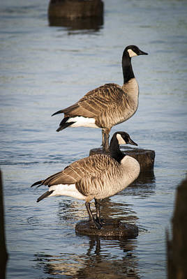 Photograph - Canada Geese On Pilings by Robert Potts