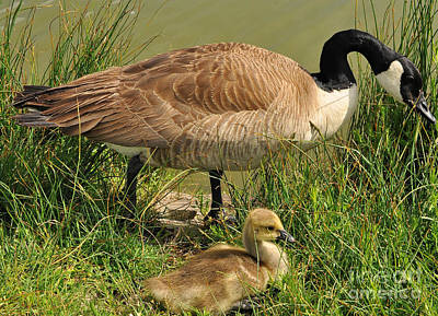 Canada Geese Parent And Child  Art Print by Merrimon Crawford