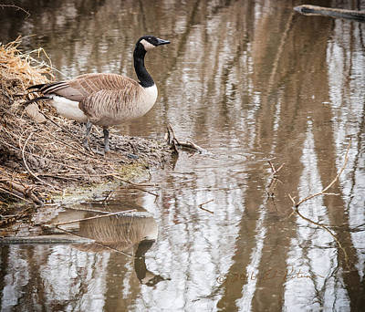 Photograph - Canada Geese Reflection by Edward Peterson