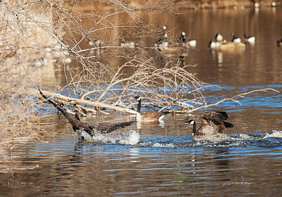 Photograph - Canada Geese Springtime by Edward Peterson