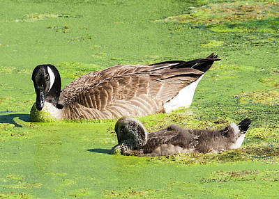 Photograph - Canada Geese Teenager by Edward Peterson
