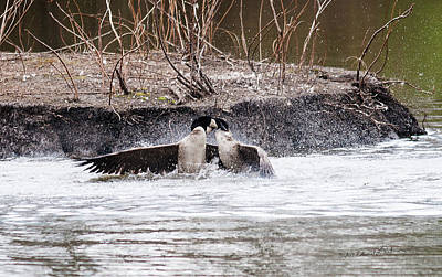 Photograph - Canada Geese Territorial Fight by Edward Peterson