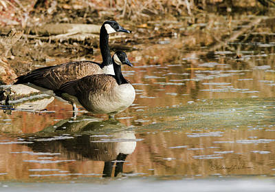 Photograph - Canada Geese Wait by Edward Peterson