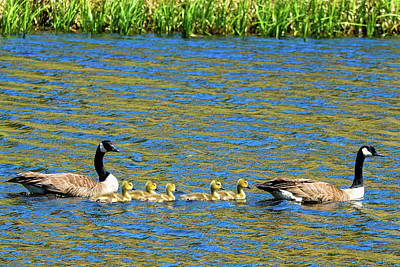 Photograph - Canada Geese With 5 Goslings by Marilyn Burton