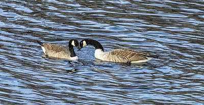 Photograph - Canada Geese With Beaks Crossed by William Bitman