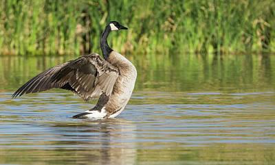 Photograph - Canada Goose 1068-010518-1cr by Tam Ryan
